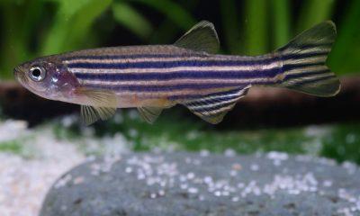 pesce zebrafish
